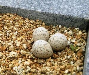 セキレイ卵