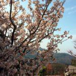 ならやま浄苑の小彼岸桜