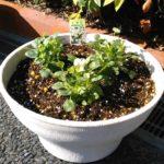 ビオラを植えました