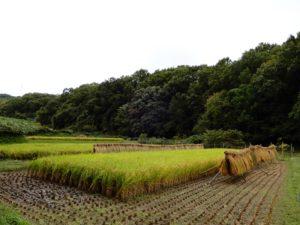 稲刈り 霊園