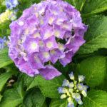 苑内に咲く紫陽花