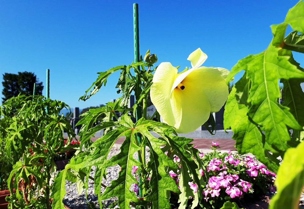 花オクラ-夏-