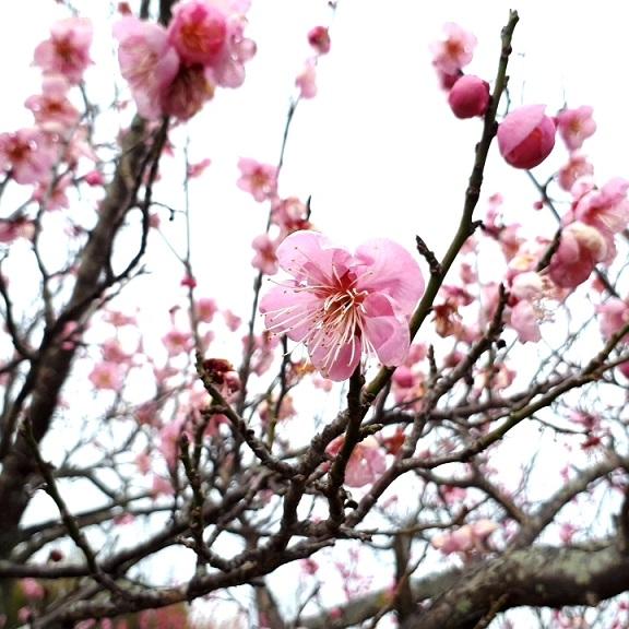 梅(桜色)
