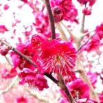 馬見丘陵公園の梅の花