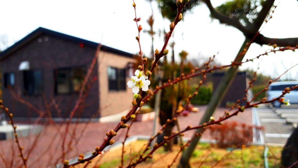 立春の雪柳
