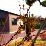 雪柳の花が咲きました
