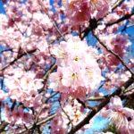 見事な緋寒桜