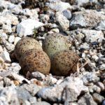 セキレイの卵-令和元年