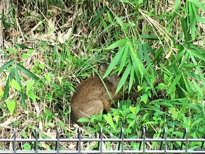 野ウサギの拡大
