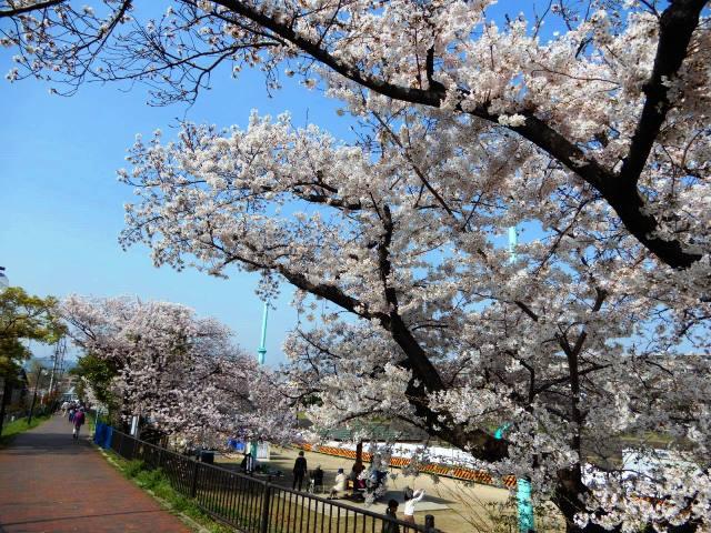 そよかぜ霊園 近所 桜