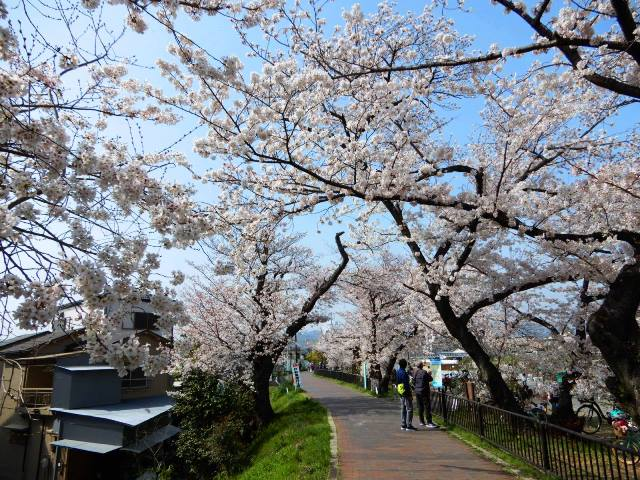 そよかぜ霊園近く 桜